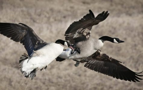 """I'm Perfectly Capable of Fluffing You Up"" — Broken-Winged Goose Doesn't Want Your Pity"