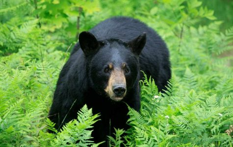 Are More Bears Coming to Campus Now Than Ever Before? Probably Not.